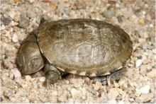 Terrapin, Central Marsh