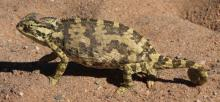Chameleon, Namaqua