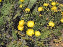 Opuntia sulphurea