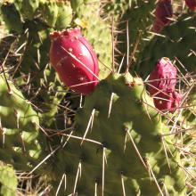 Opuntia stricta - Common pest pear