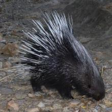 Southern African Porcupine