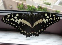 Papilio demodocus