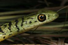 Spotted or Variegated Bush Snake