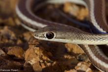 Western Sand Snake