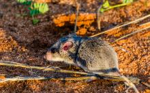 Pouched mouse