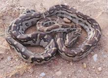 Southern African Python