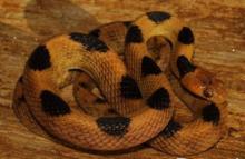 Beetz's Tiger Snake
