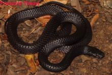 Black File Snake