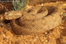 Desert Mountain Adder