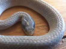 Red-lipped or Herald Snake