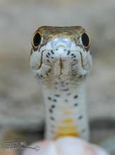 Karoo Sand Snake