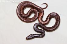 Namibian Wolf Snake