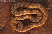 Western Keeled Snake